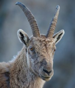 Bitso, a goat for the Chivo wallet